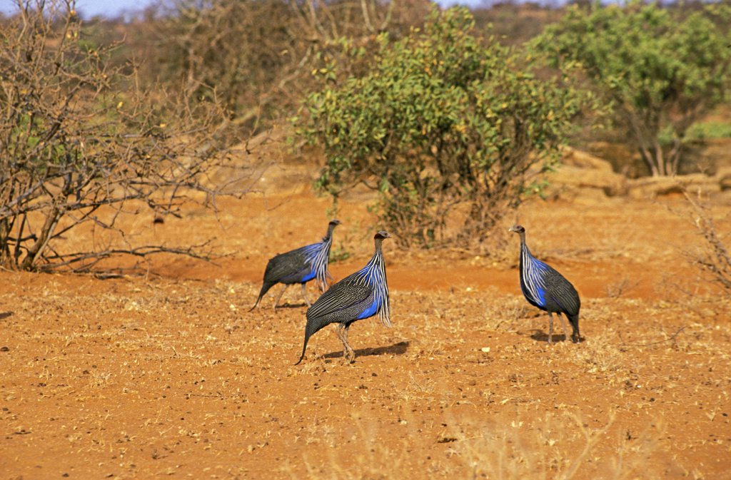 Stock Photo: 4273-10990 Vulturine Guineafowl Acryllium Vulturinum, Group Of Adults, Kenya
