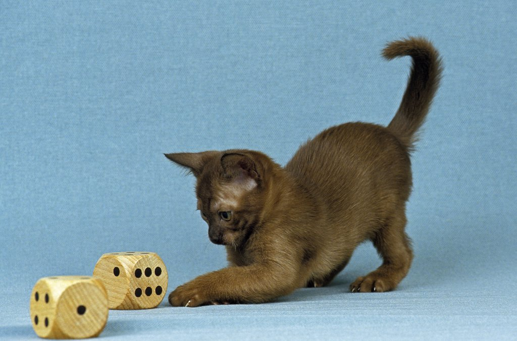 Zibeline Burmese Domestic Cat, Kitten Playing With Dice : Stock Photo