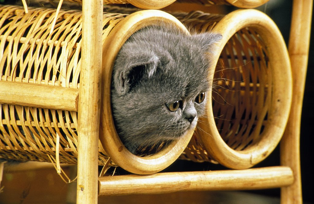 Exotic Shorthair Domestic Cat, Kitten Playing In Basket : Stock Photo