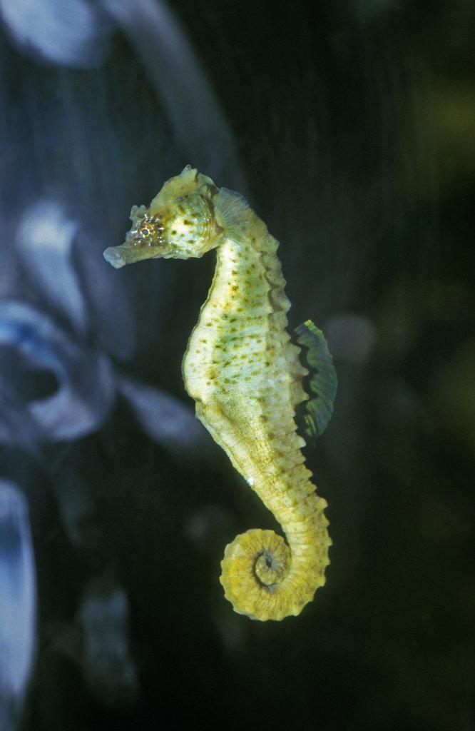 Stock Photo: 4273-11164 Seahorse, Hippocampus Sp