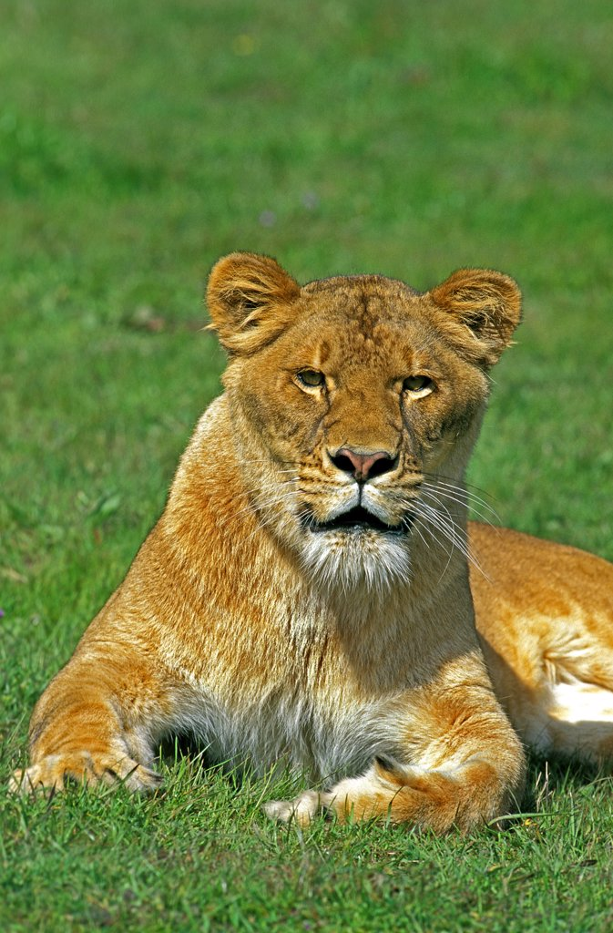 Stock Photo: 4273-11218 African Lion, Panthera Leo, Female Laying On Grass