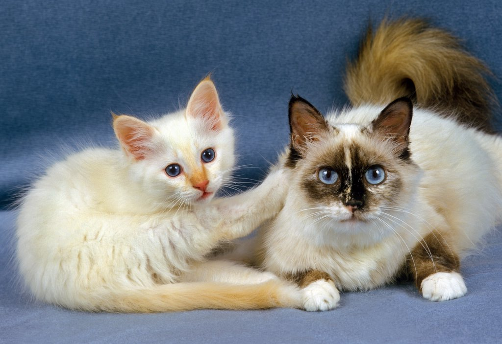 Stock Photo: 4273-11269 Birmanese Domestic Cat, Female With Kitten