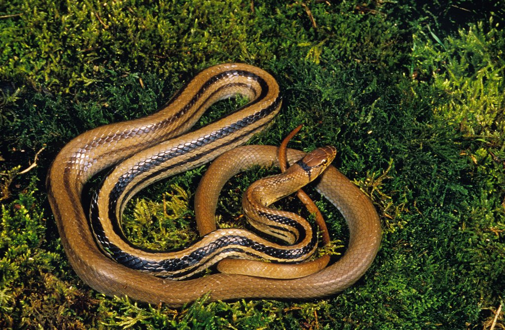 Stock Photo: 4273-11339 Copperhead Ratsnake, Elaphe Radiata, Adult Standing On Moss