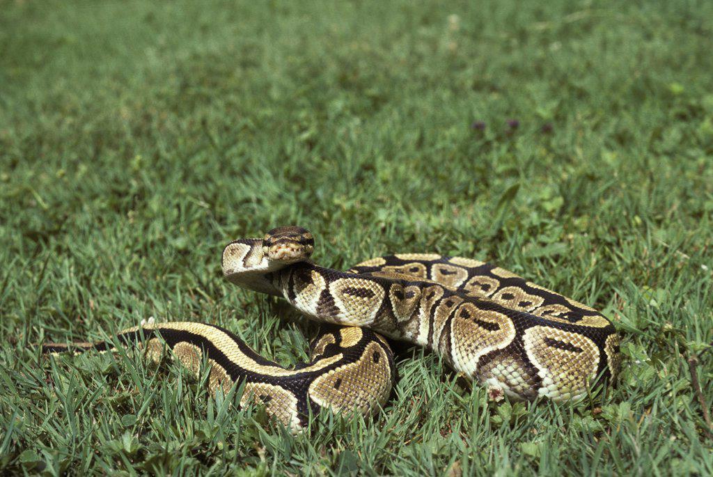 Stock Photo: 4273-11409 Royal Python, Python Regius, Adult Standing On Grass