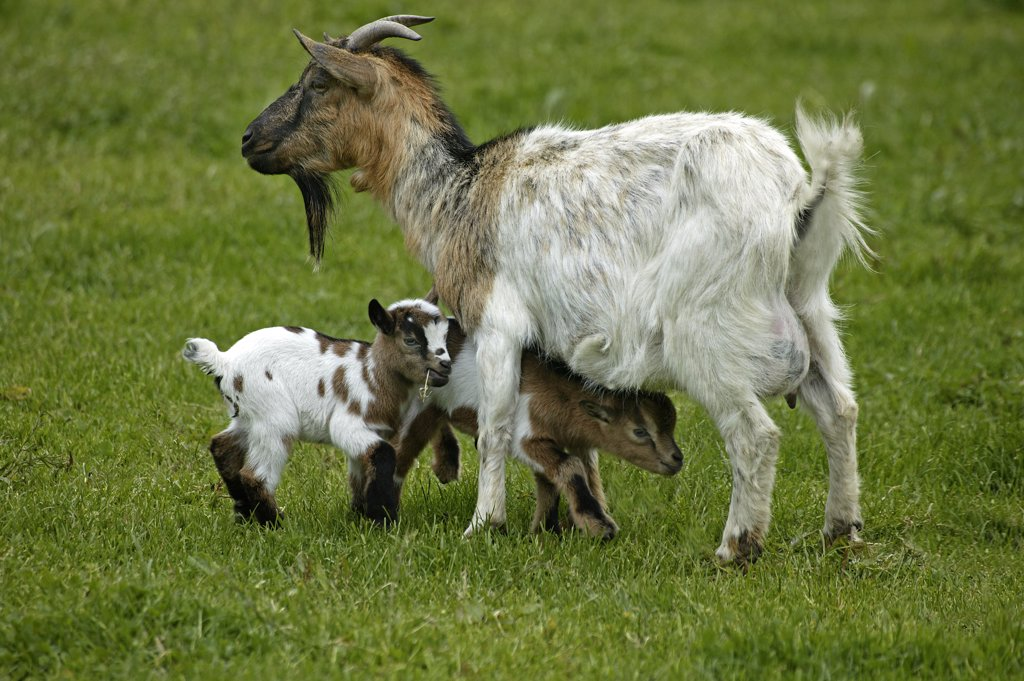 Stock Photo: 4273-11423 Pygmy Goat Or Dwarf Goat Capra Hircus, Mother With Kid