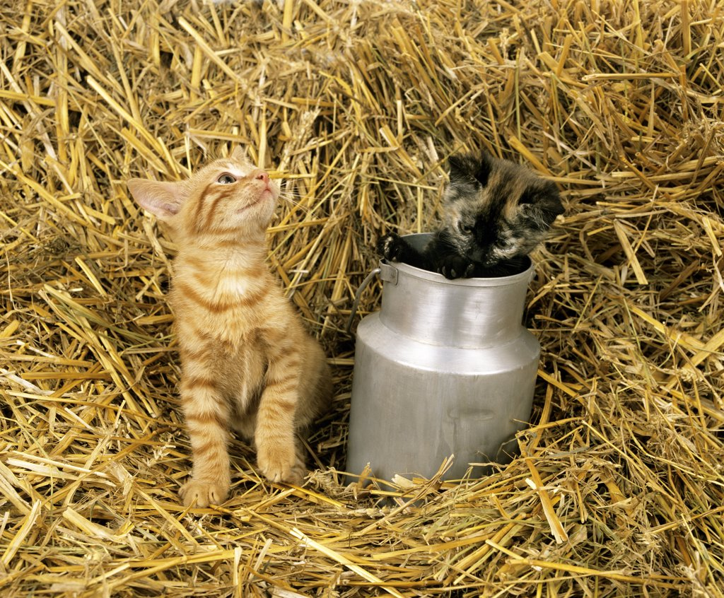 Red Tabby Cat And Domestic Cat Paying In Straw : Stock Photo