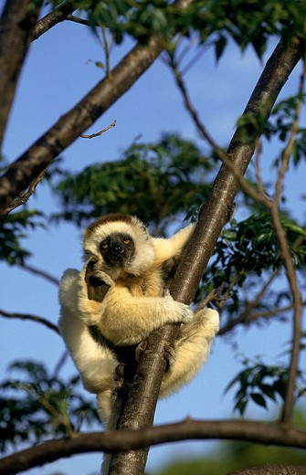 Stock Photo: 4273-1158 Verreaux'S Sifaka Propithecus Verreauxi Scratching Its Head On A Branch In Madagascar