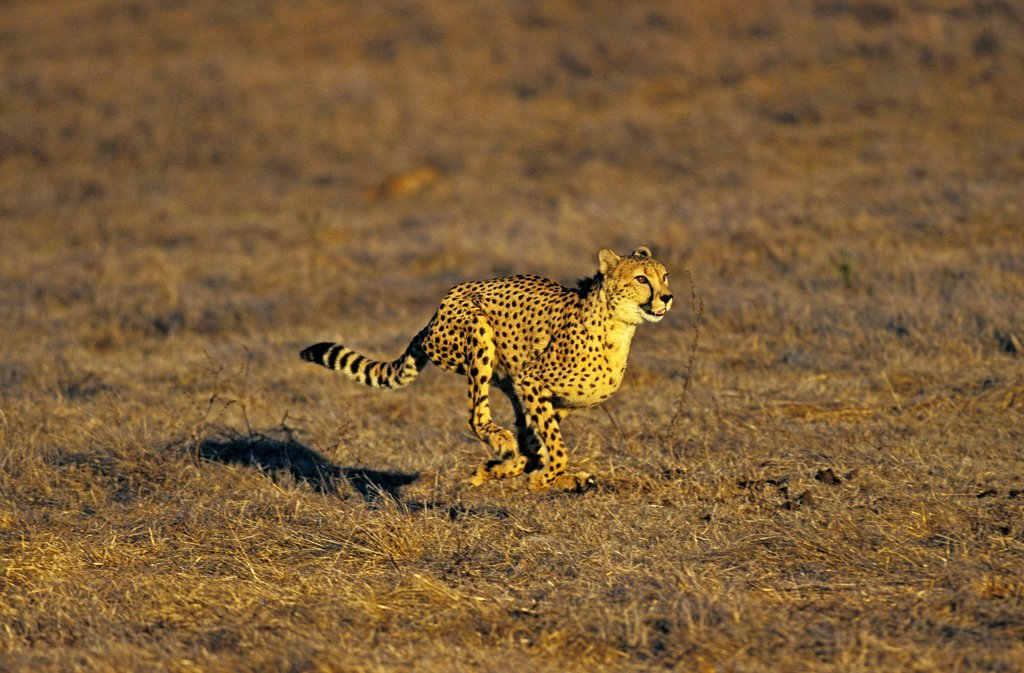 Stock Photo: 4273-11649 Cheetah Acinonyx Jubatus, Adult Running, Masai Mara Park, Kenya