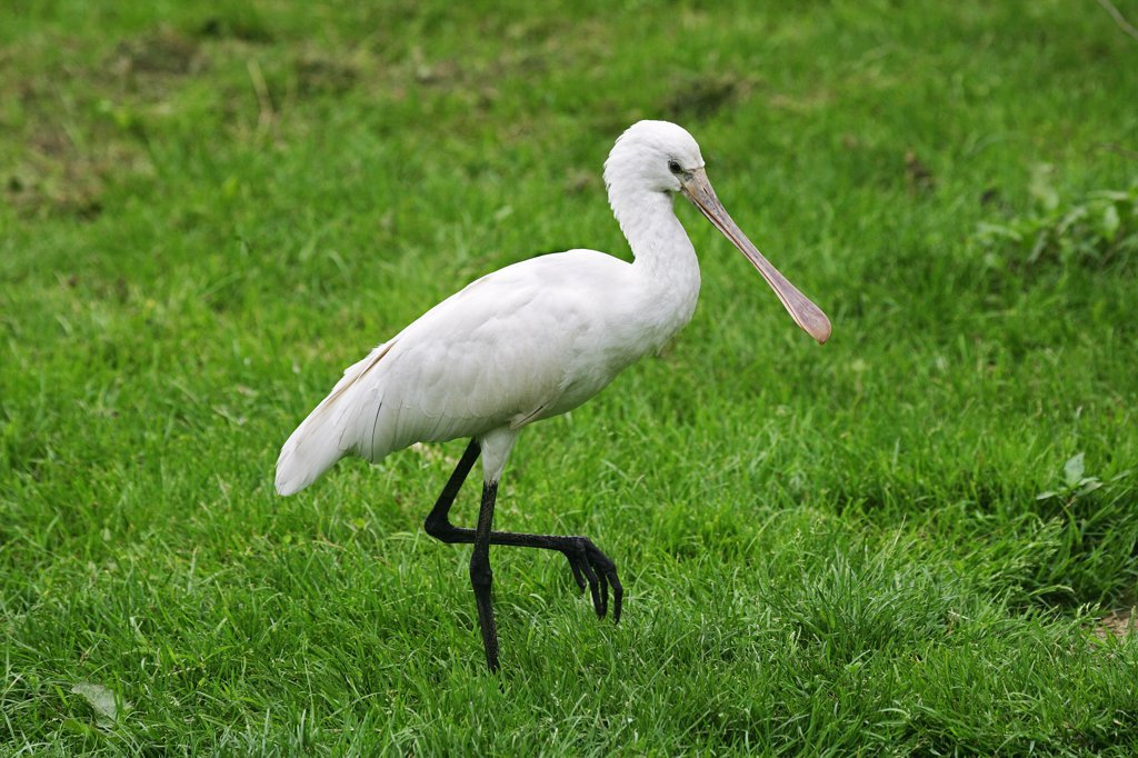 White Spoonbill, Platalea Leucorodia, Adulte Walking On Grass : Stock Photo