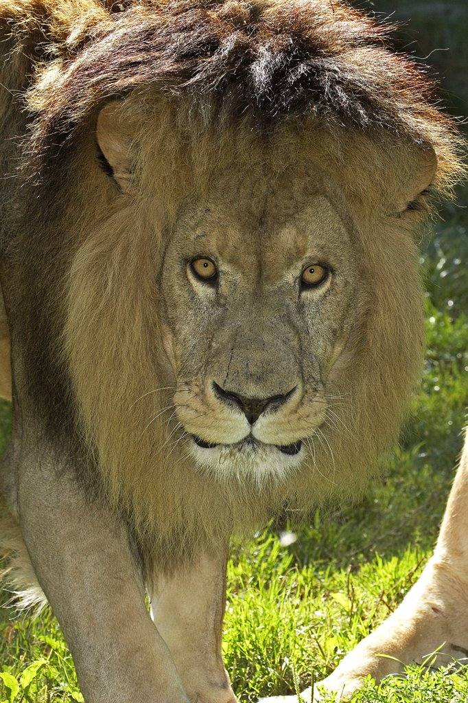 Stock Photo: 4273-11895 African Lion Panthera Leo, Portrait Of Male