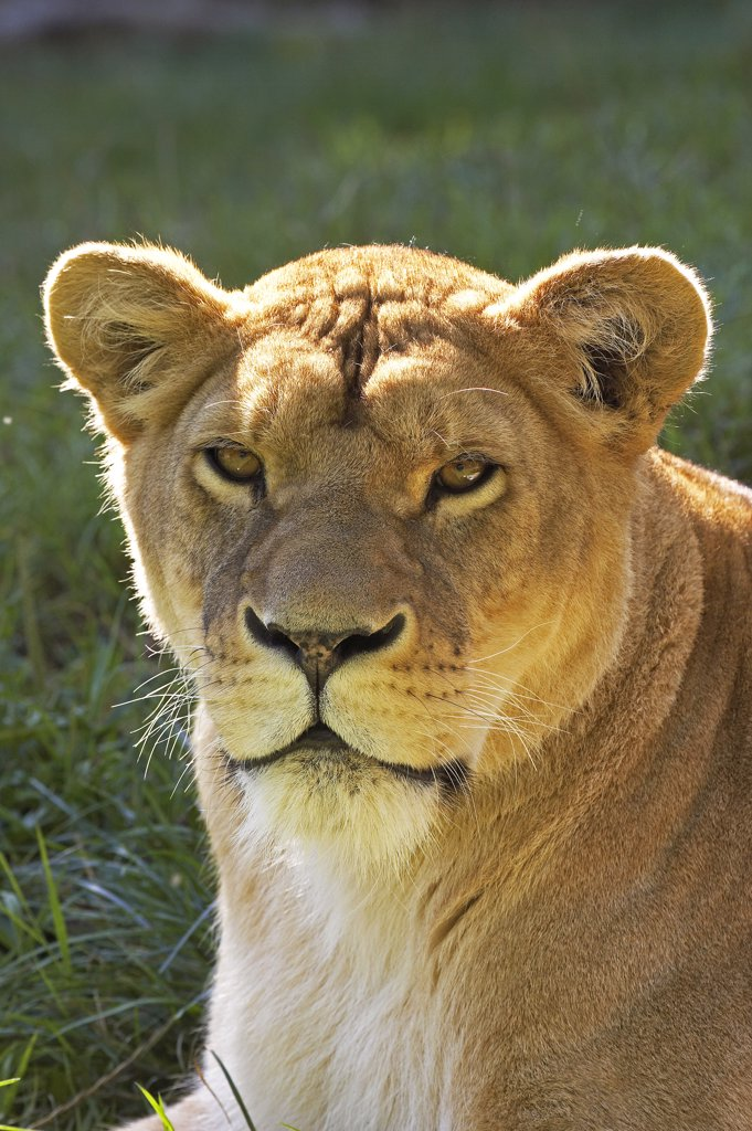 Stock Photo: 4273-11902 African Lion Panthera Leo, Portrait Of Female