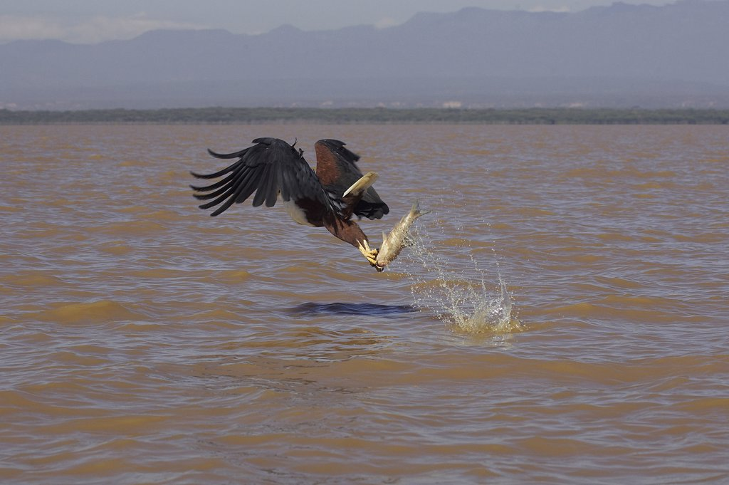 Stock Photo: 4273-11938 African Fish-Eagle Haliaeetus Vocifer, Adult In Flight With Fish In Claws, Baringo Lake In Kenya