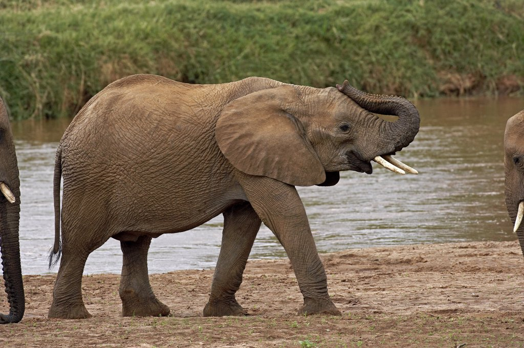 Stock Photo: 4273-12002 African Elephant Loxodonta Africana, Masai Mara Park In Kenya