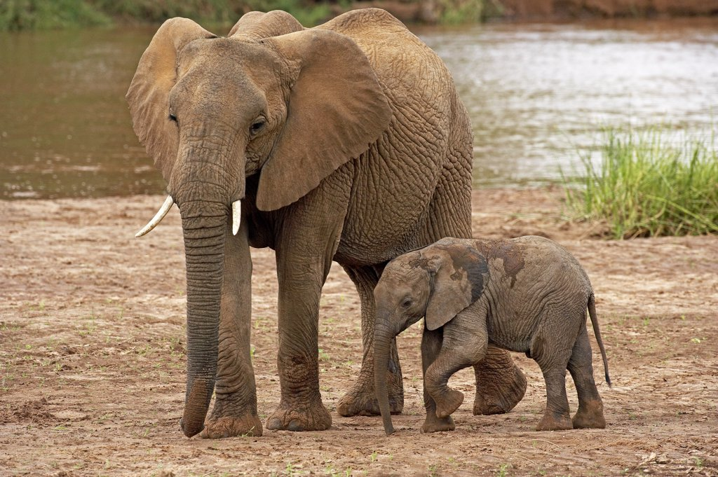 Stock Photo: 4273-12005 African Elephant Loxodonta Africana, Mother With Baby, Masai Mara Park In Kenya