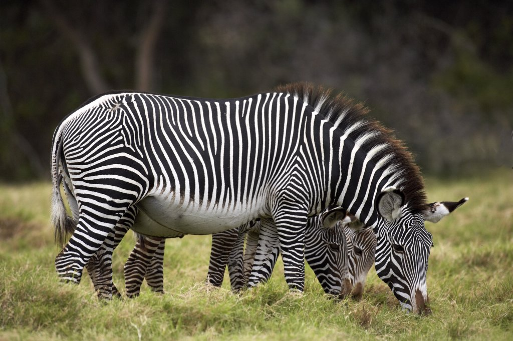 Stock Photo: 4273-12018 Grant'S Zebra, Equus Burchelli Boehmi, Female With Foal, Masai Mara Park In Kenya
