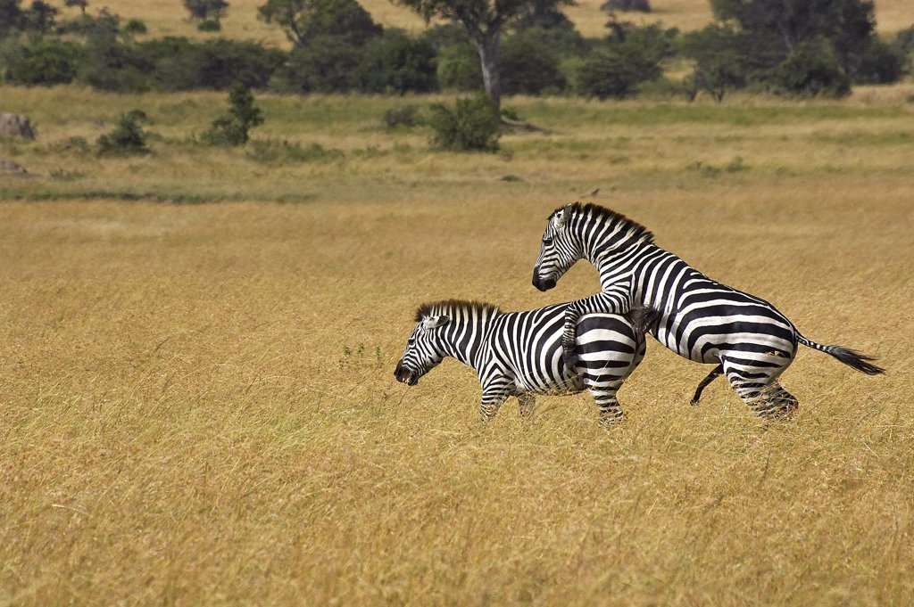 Stock Photo: 4273-12073 Burchell'S Zebra, Equus Burchelli, Pair Mating, Masai Mara Park In Kenya