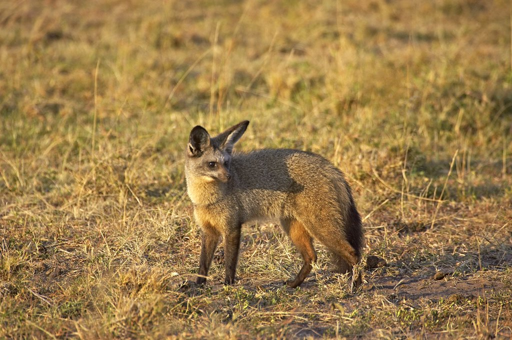 Stock Photo: 4273-12110 Bat Eared Fox, Otocyon Megalotis, Adult Standing On Dry Grass, Masai Mara Park