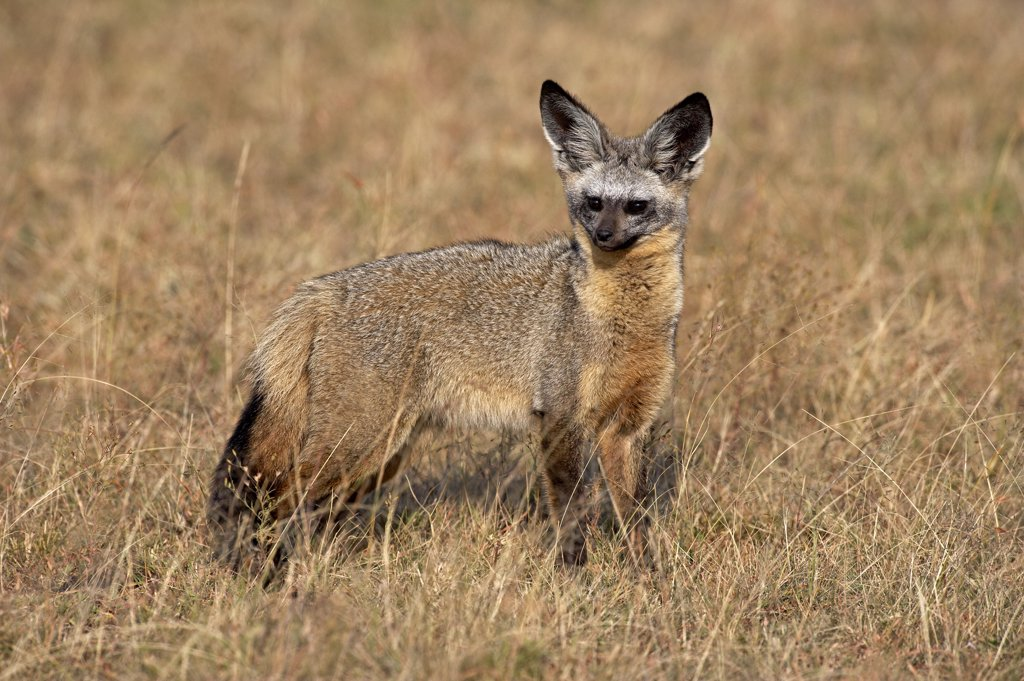 Stock Photo: 4273-12112 Bat Eared Fox, Otocyon Megalotis, Adult Standing On Dry Grass, Masai Mara Park