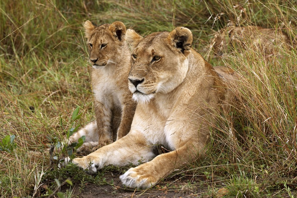African Lion, Panthera Leo, Female With Cub, Masai Mara Park In Kenya : Stock Photo