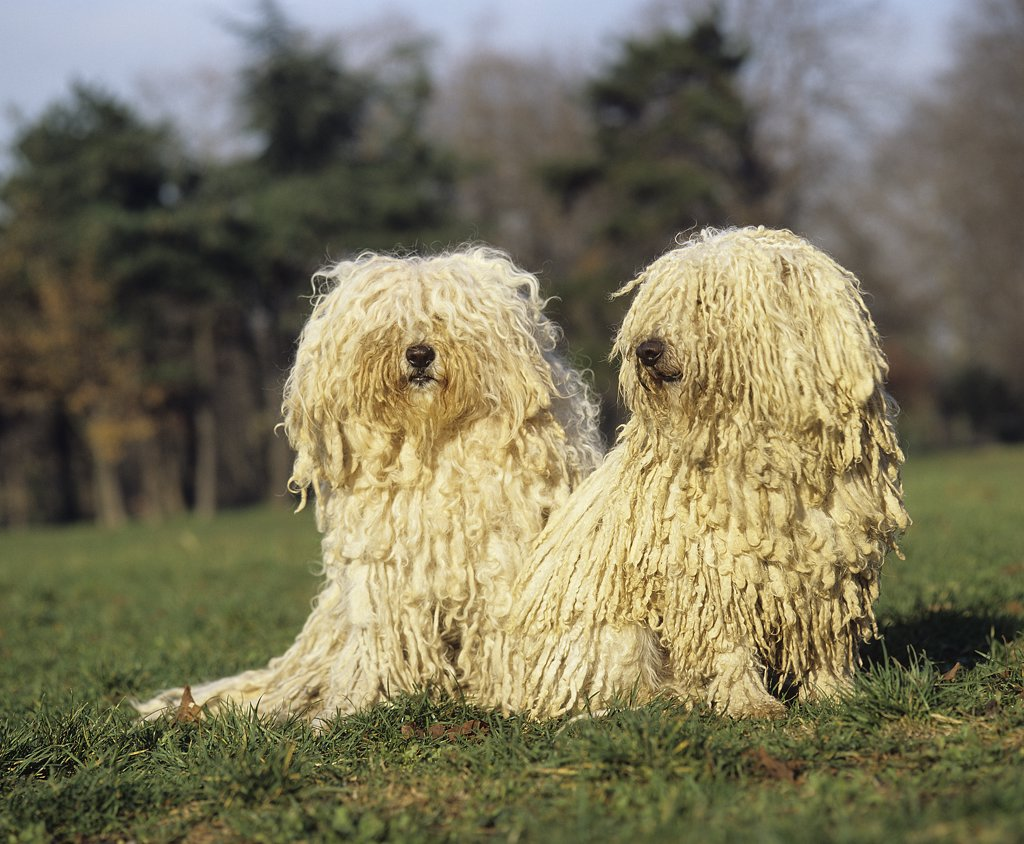 Stock Photo: 4273-12165 Hungarian Puli Dog, Adults Sitting On Grass