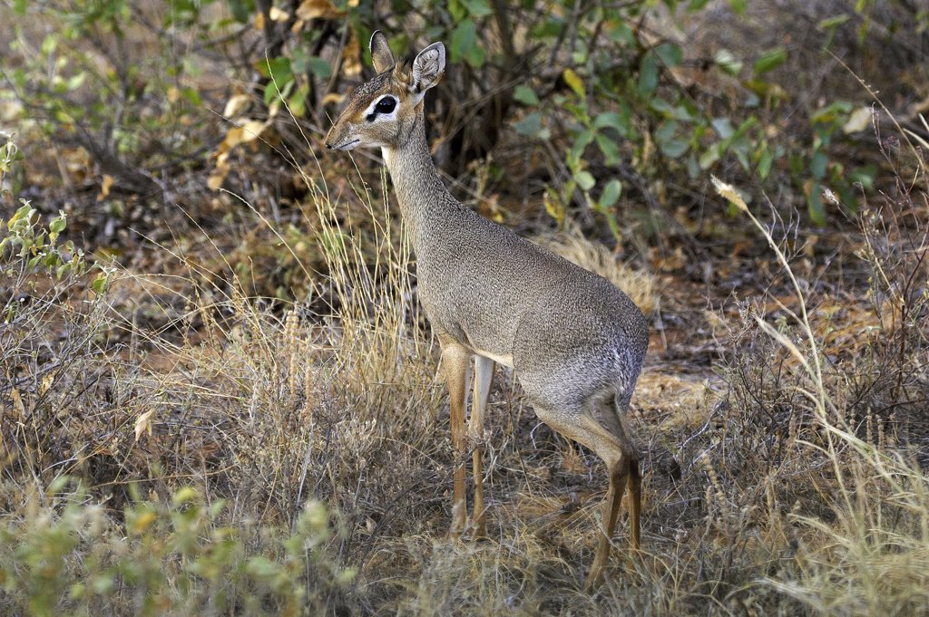 Stock Photo: 4273-12190 Kirk'S Dik Dik, Madoqua Kirkii, Adult Standing On Dry Grass, Masai Mara Park In Kenya