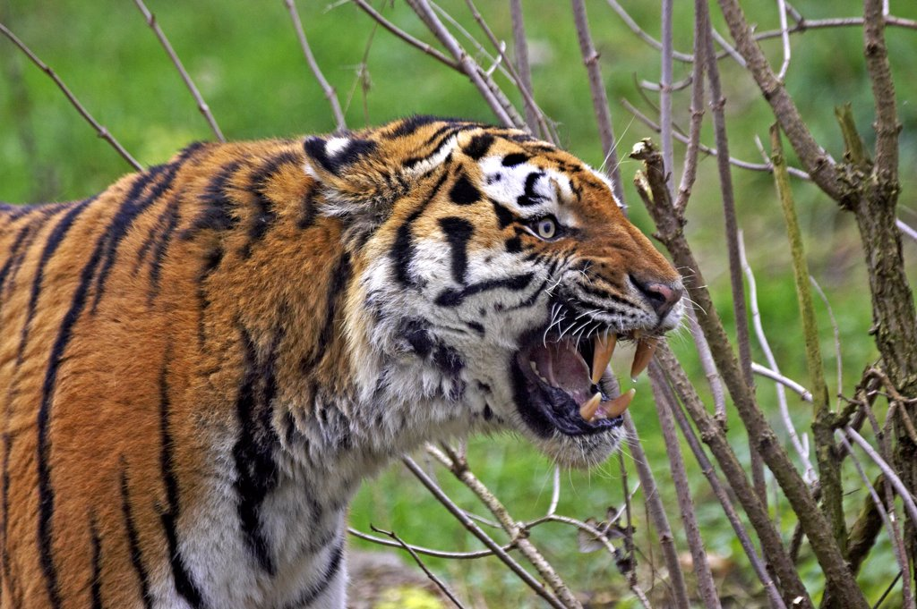 Stock Photo: 4273-12212 Siberian Tiger, Panthera Tigris Altaica, Adult Snarling