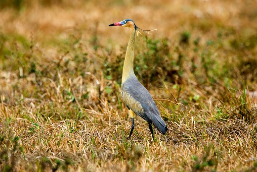 Stock Photo: 4273-12406 Whistling Heron Syrigma Sibilatrix, Adulte Standing On Dry Grass, Los Lianos In Venezuela