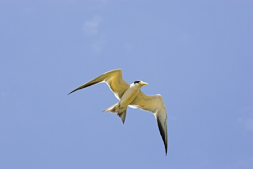Stock Photo: 4273-12498 Large-Billed Tern Phaetusa Simplex, Adult In Flight, Los Lianos In Venezuela