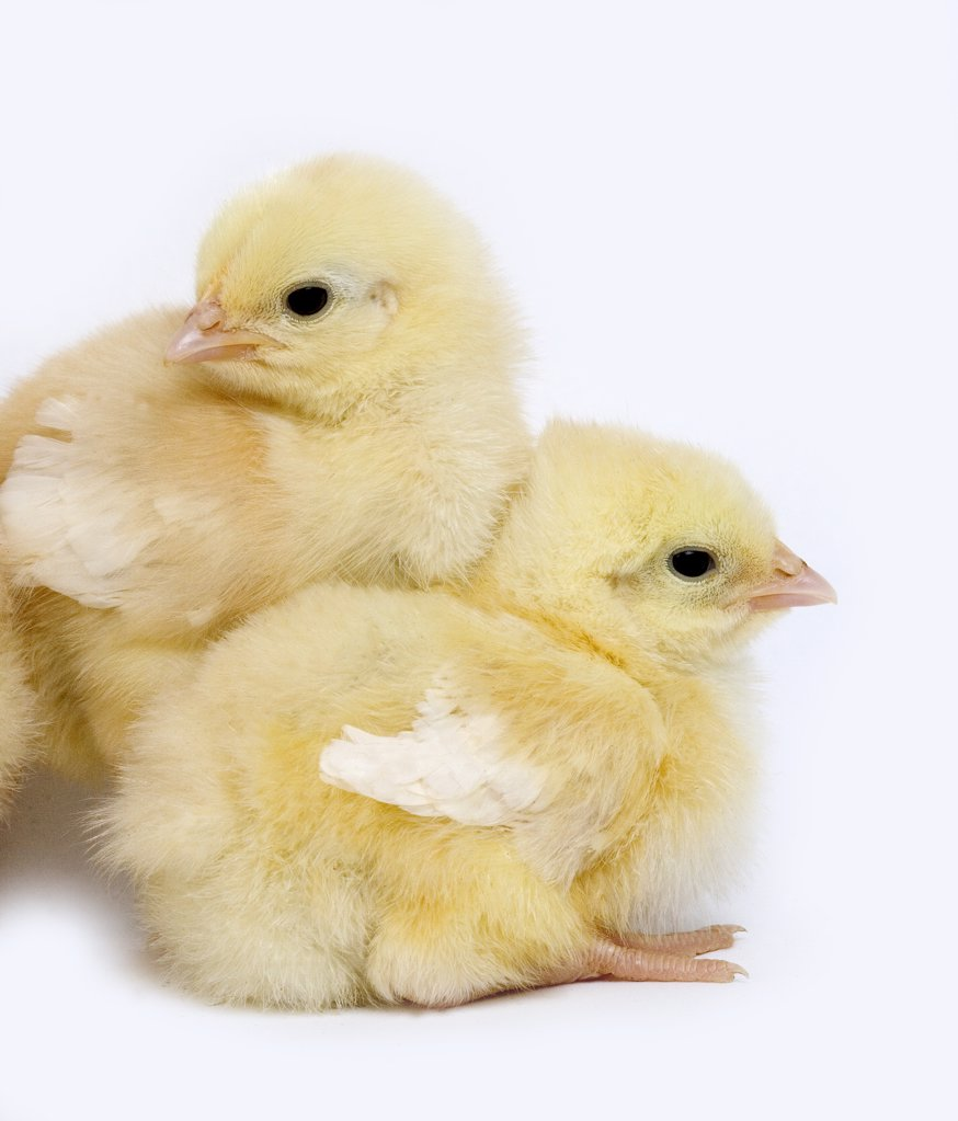 Stock Photo: 4273-12640 Pair Of Chicks Against White Background