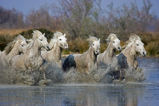 Camargue Horse, Herd Standing In Swamp, Saintes Marie De La Mer In South Of France : Stock Photo