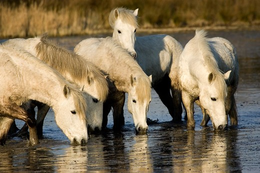 Stock Photo: 4273-12724 Camargue Horse, Herd Drinking In Swamp, Saintes Marie De La Mer In South Of France