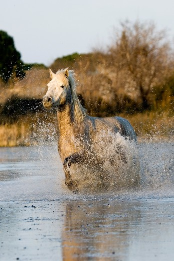 Camargue Horse,  Adult Galloping In Swamp, Saintes Marie De La Mer In The South Of France : Stock Photo