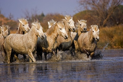 Stock Photo: 4273-12776 Camargue Horse, Herd Standing In Swamp, Saintes Marie De La Mer In The South Of France