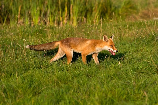 Red Fox Vulpes Vulpes, Adult Standing On Grass, Normandy In France : Stock Photo