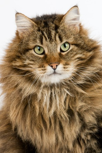 Stock Photo: 4273-12896 Angora Domestic Cat, Male Against White Background