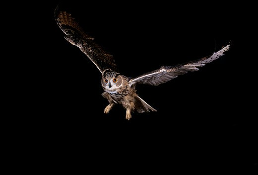 European Eagle Owl Bubo Bubo, Adult In Flight, Normandy In France : Stock Photo