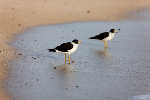 Stock Photo: 4273-13194 Gulls, Adult Standing On Beach, Paracas National Park In Peru