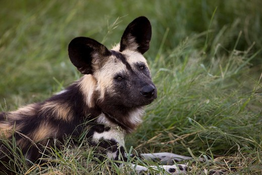 Stock Photo: 4273-13358 African Wild Dog Lycaon Pictus, Adult Laying Down On Grass, Namibia