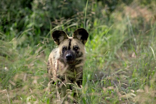 Stock Photo: 4273-13361 African Wild Dog Lycaon Pictus, Adult Emerging From Long Grass, Namibia