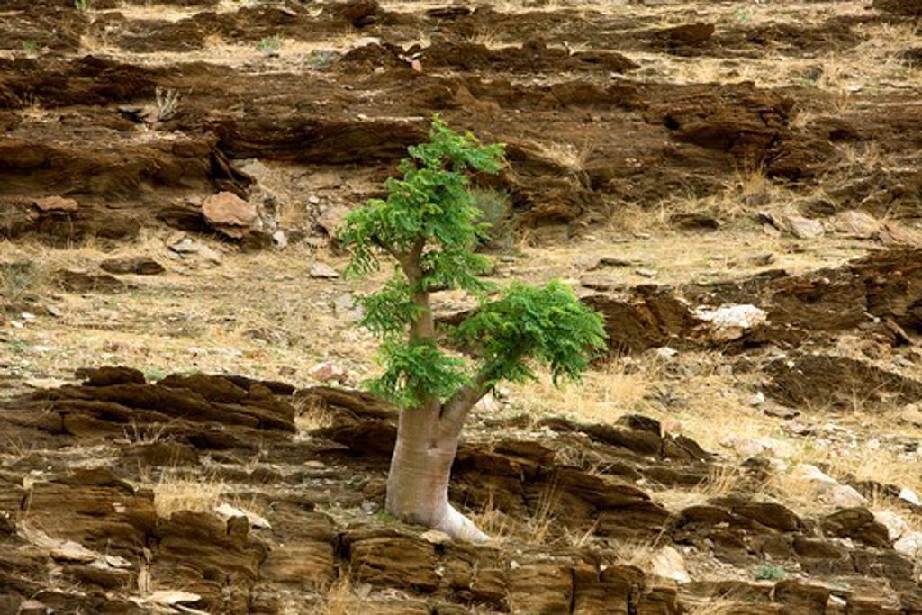 Stock Photo: 4273-13376 Kobas Tree, Cyphostemma Currorii, Namib Desert Near Walvis Bay, Namibia