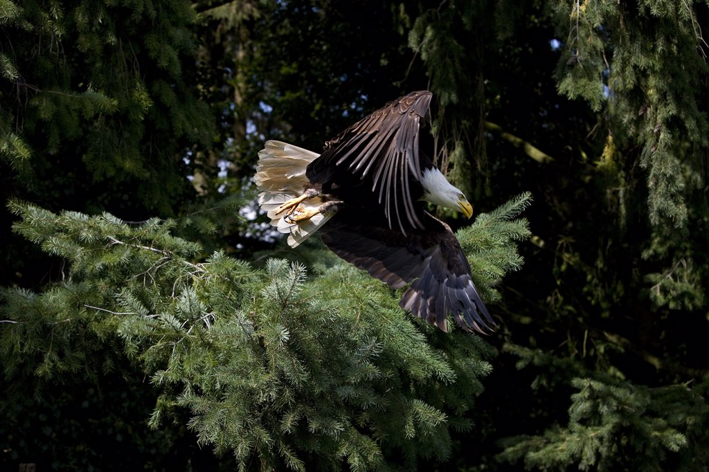 Bald Eagle Haliaeetus Leucocephalus, Adult In Flight : Stock Photo