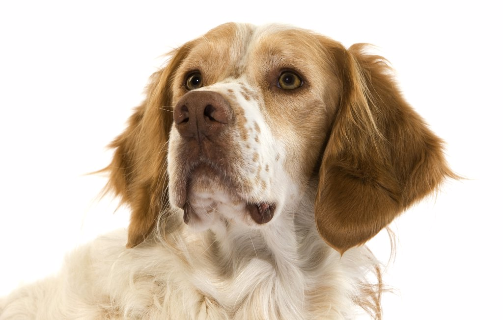 Stock Photo: 4273-13517 French Spaniel Dog(Cinnamon Color), Portrait Of Male