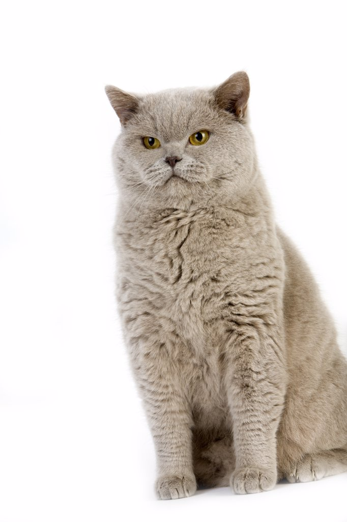 Stock Photo: 4273-13558 Lilac British Shorthair Domestic Cat, Male Against White Background