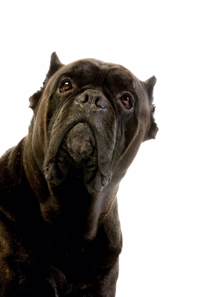 Cane Corso, A Dog Breed From Italy, Portrait Of Adult Against White Background : Stock Photo