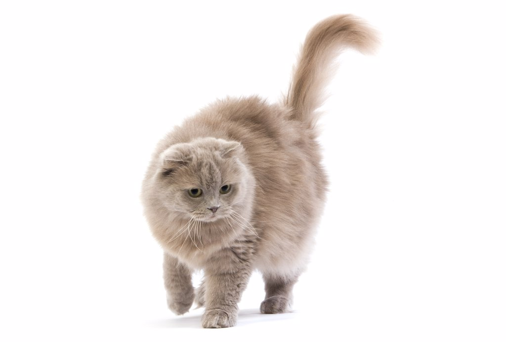 Lilac Self Highland Fold Or Lilac Self Scottish Fold Longhair Female : Stock Photo