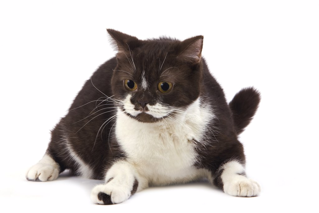 Stock Photo: 4273-13697 Chocolate And White British Shorthair Domestic Cat, Female Laying Against White Background