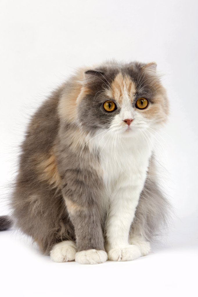 Blue Cream And White Highland Fold Domestic Cat, Female Sitting Against White Background : Stock Photo