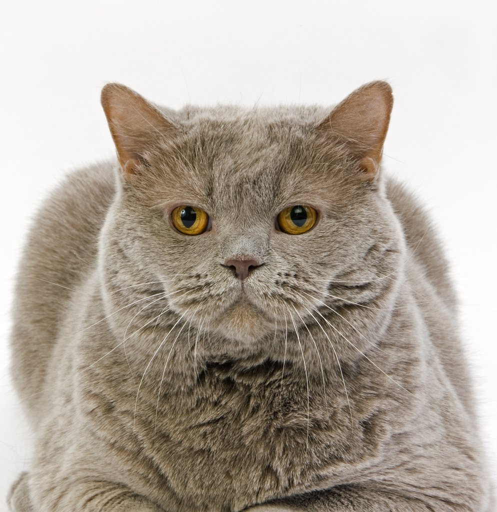 Stock Photo: 4273-13741 Lilac Self British Shorthair Domestic Cat, Female Laying Against White Background