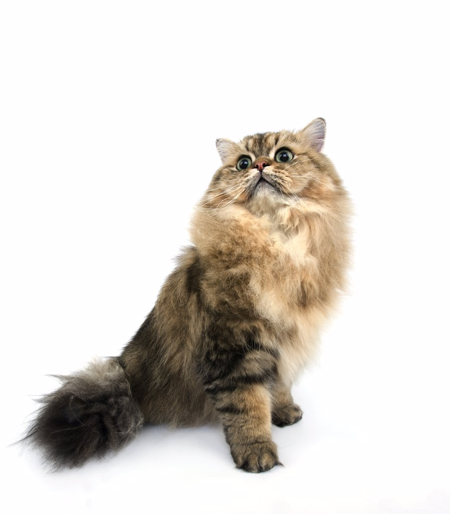 Stock Photo: 4273-13848 Golden Persian Cat, Adult Against White Background