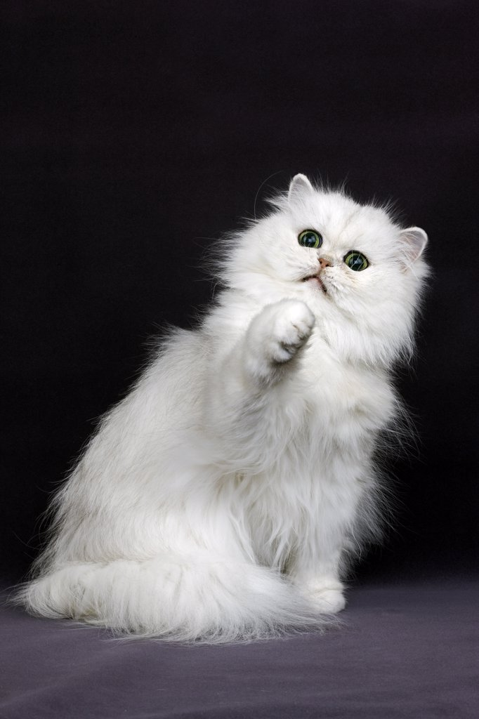 Stock Photo: 4273-13862 Chinchilla Persian Domestic Cat, Adult Playing Against Black Background